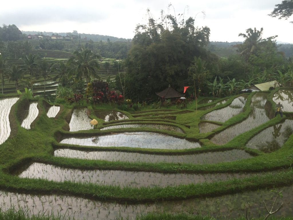 rijstvelden, rice fields, bali, travel